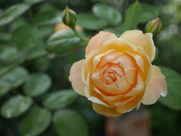 ジュード・ジ・オブスキュア(Jude the Obscure)の2番花が綺麗に咲いた。半ツルバラ。2020年-005.jpg
