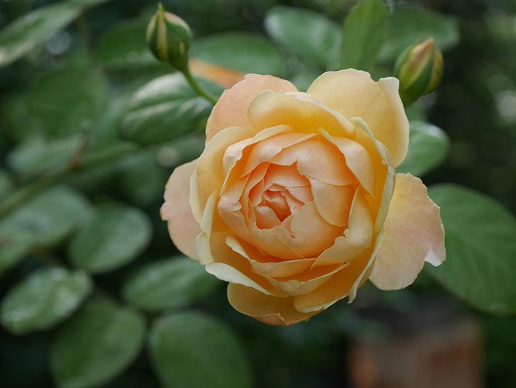 ジュード・ジ・オブスキュア(Jude the Obscure)の2番花が綺麗に咲いた。半ツルバラ。2020年-006.jpg