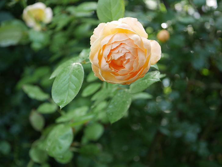 ジュード・ジ・オブスキュア(Jude the Obscure)の2番花が綺麗に咲いた。半ツルバラ。2020年-007.jpg