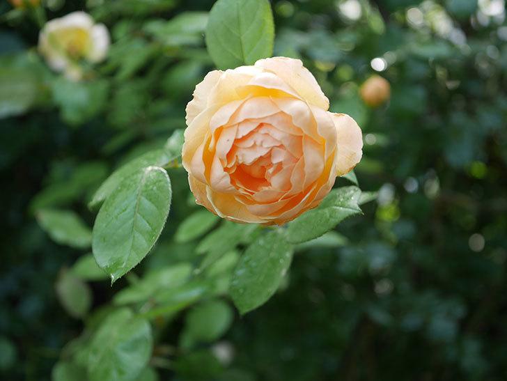 ジュード・ジ・オブスキュア(Jude the Obscure)の2番花が綺麗に咲いた。半ツルバラ。2020年-008.jpg