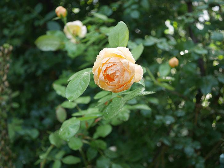 ジュード・ジ・オブスキュア(Jude the Obscure)の2番花が綺麗に咲いた。半ツルバラ。2020年-010.jpg