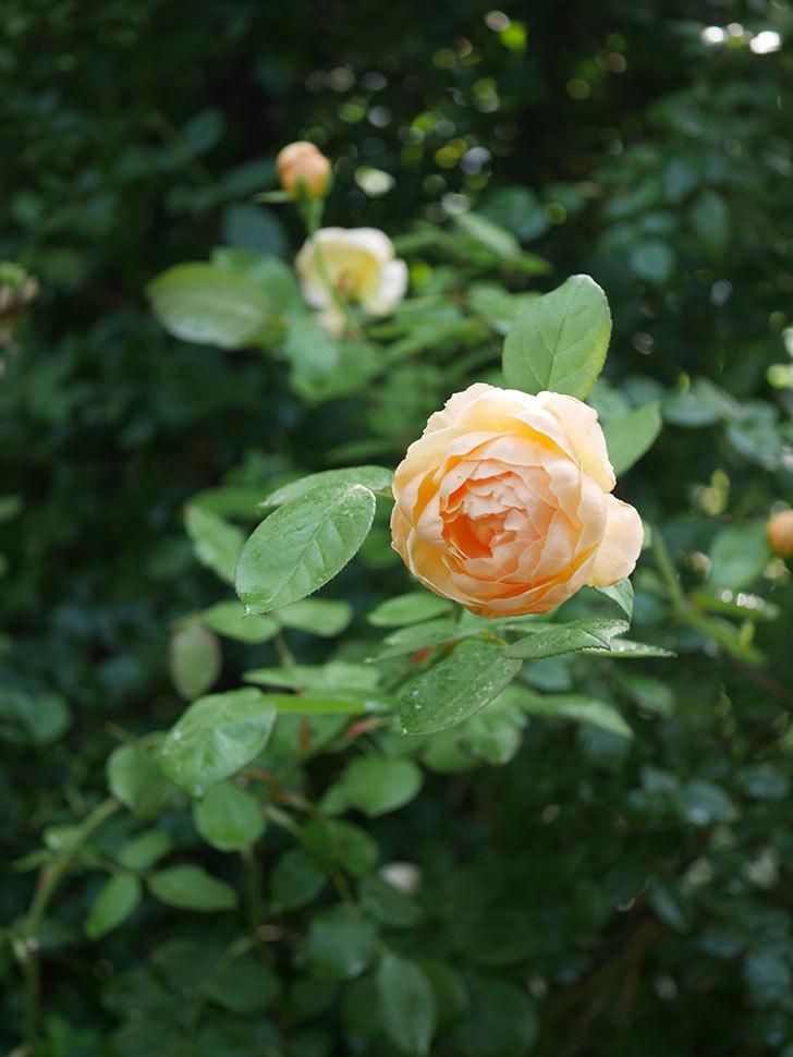 ジュード・ジ・オブスキュア(Jude the Obscure)の2番花が綺麗に咲いた。半ツルバラ。2020年-011.jpg