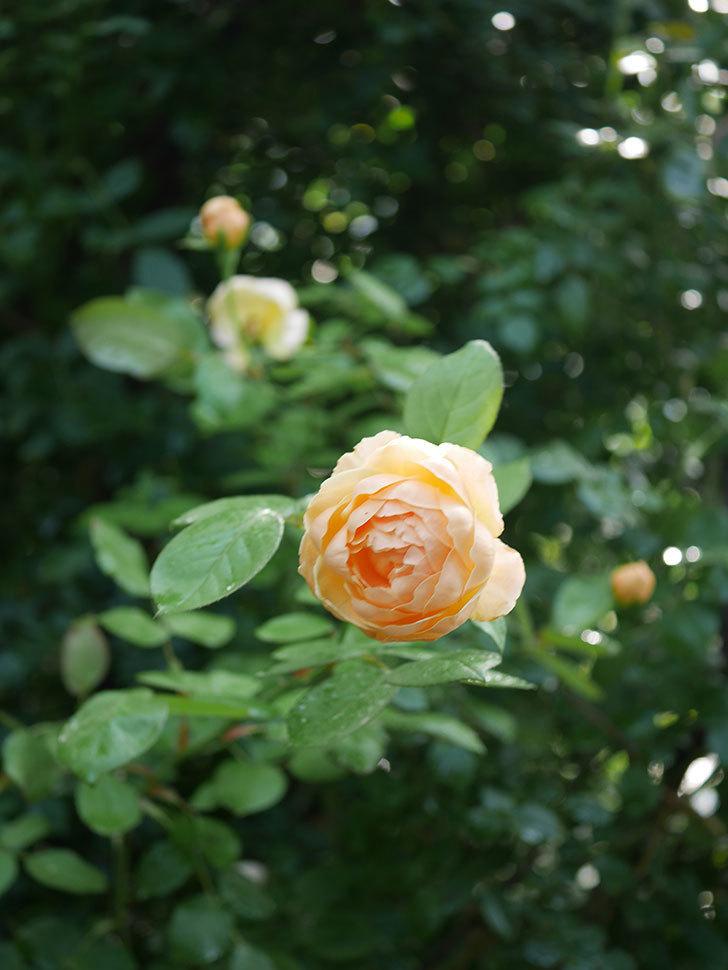ジュード・ジ・オブスキュア(Jude the Obscure)の2番花が綺麗に咲いた。半ツルバラ。2020年-012.jpg