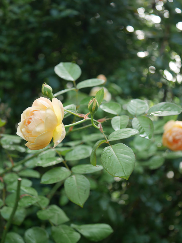 ジュード・ジ・オブスキュア(Jude the Obscure)の2番花が綺麗に咲いた。半ツルバラ。2020年-013.jpg