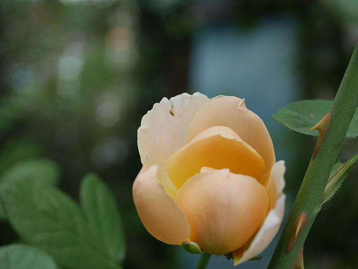 ジュード・ジ・オブスキュア(Jude the Obscure)の夏花が咲いた。半ツルバラ。2020年-001.jpg