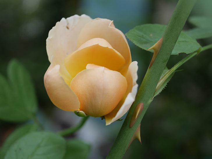ジュード・ジ・オブスキュア(Jude the Obscure)の夏花が咲いた。半ツルバラ。2020年-002.jpg