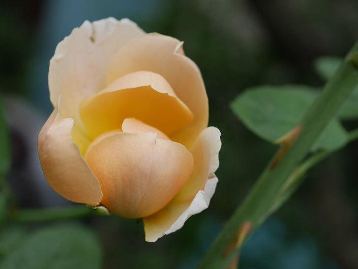 ジュード・ジ・オブスキュア(Jude the Obscure)の夏花が咲いた。半ツルバラ。2020年-003.jpg