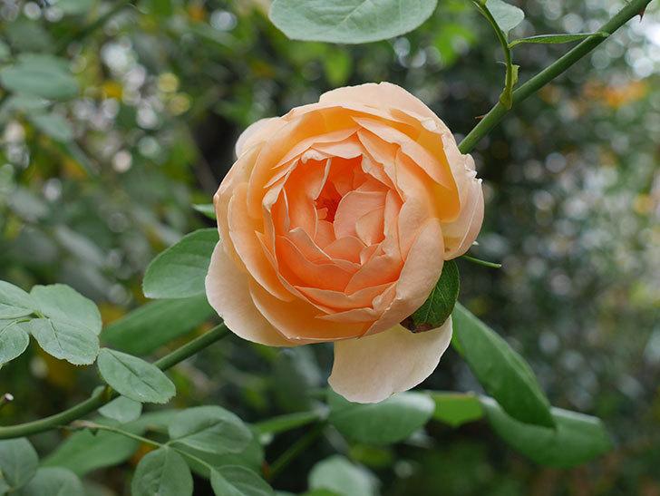 ジュード・ジ・オブスキュア(Jude the Obscure)の秋花が咲いた。半ツルバラ。2020年-002.jpg