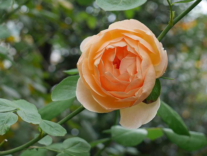 ジュード・ジ・オブスキュア(Jude the Obscure)の秋花が咲いた。半ツルバラ。2020年-004.jpg