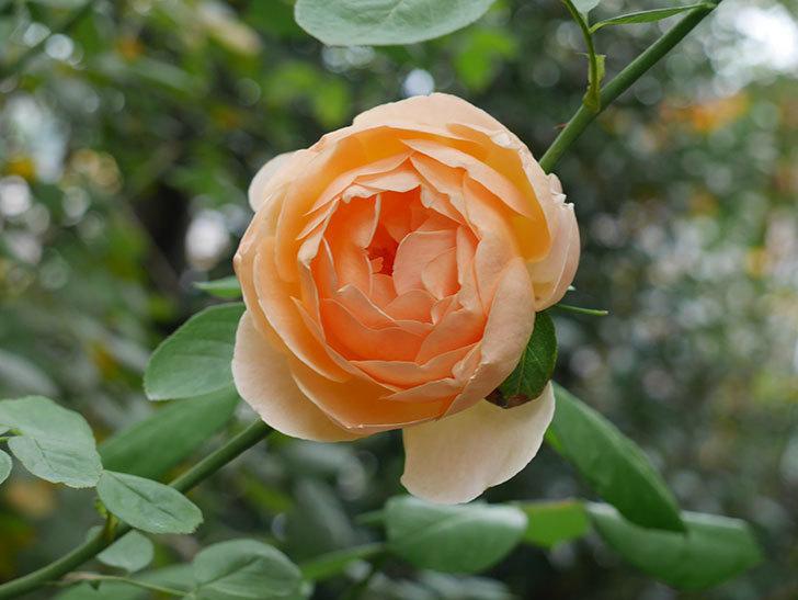 ジュード・ジ・オブスキュア(Jude the Obscure)の秋花が咲いた。半ツルバラ。2020年-005.jpg