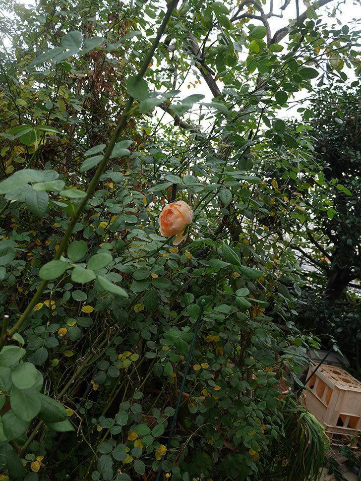 ジュード・ジ・オブスキュア(Jude the Obscure)の秋花が咲いた。半ツルバラ。2020年-006.jpg