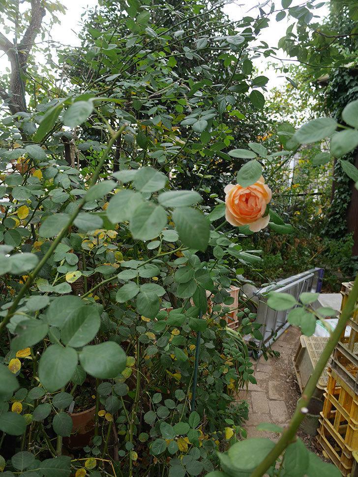 ジュード・ジ・オブスキュア(Jude the Obscure)の秋花が咲いた。半ツルバラ。2020年-007.jpg