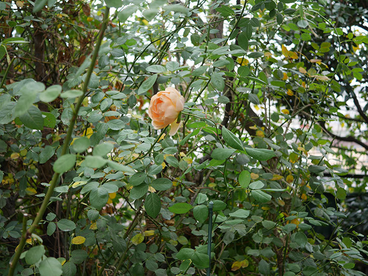 ジュード・ジ・オブスキュア(Jude the Obscure)の秋花が咲いた。半ツルバラ。2020年-008.jpg