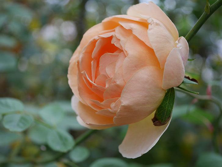 ジュード・ジ・オブスキュア(Jude the Obscure)の秋花が咲いた。半ツルバラ。2020年-009.jpg
