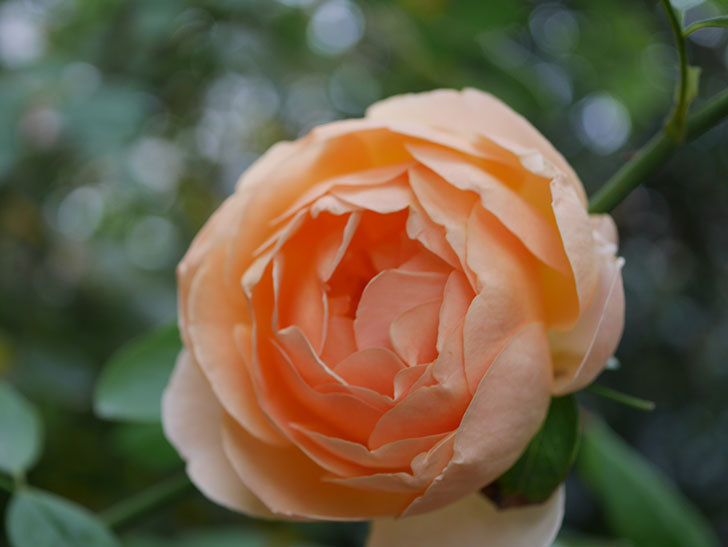ジュード・ジ・オブスキュア(Jude the Obscure)の秋花が咲いた。半ツルバラ。2020年-011.jpg