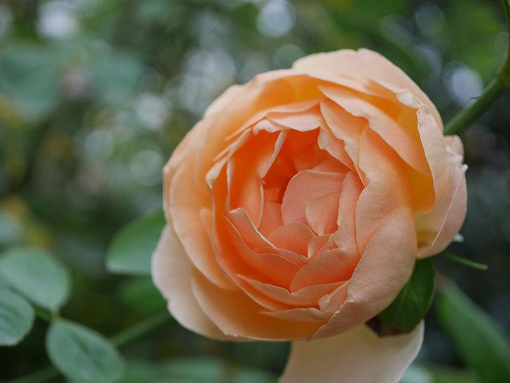 ジュード・ジ・オブスキュア(Jude the Obscure)の秋花が咲いた。半ツルバラ。2020年-012.jpg