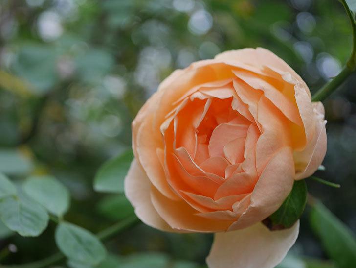 ジュード・ジ・オブスキュア(Jude the Obscure)の秋花が咲いた。半ツルバラ。2020年-013.jpg