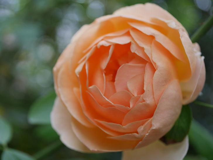 ジュード・ジ・オブスキュア(Jude the Obscure)の秋花が咲いた。半ツルバラ。2020年-014.jpg