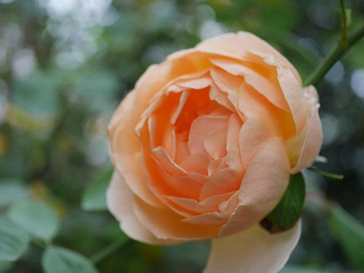 ジュード・ジ・オブスキュア(Jude the Obscure)の秋花が咲いた。半ツルバラ。2020年-015.jpg