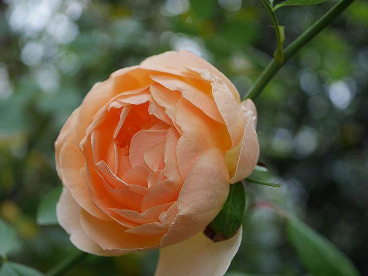ジュード・ジ・オブスキュア(Jude the Obscure)の秋花が咲いた。半ツルバラ。2020年-016.jpg