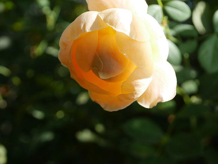ジュード・ジ・オブスキュア(Jude the Obscure)の秋花が咲いた。半ツルバラ。2021年-001.jpg
