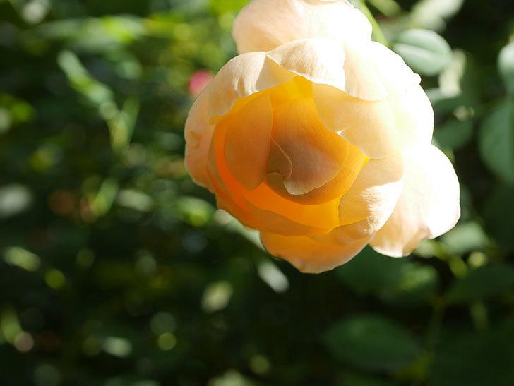 ジュード・ジ・オブスキュア(Jude the Obscure)の秋花が咲いた。半ツルバラ。2021年-002.jpg