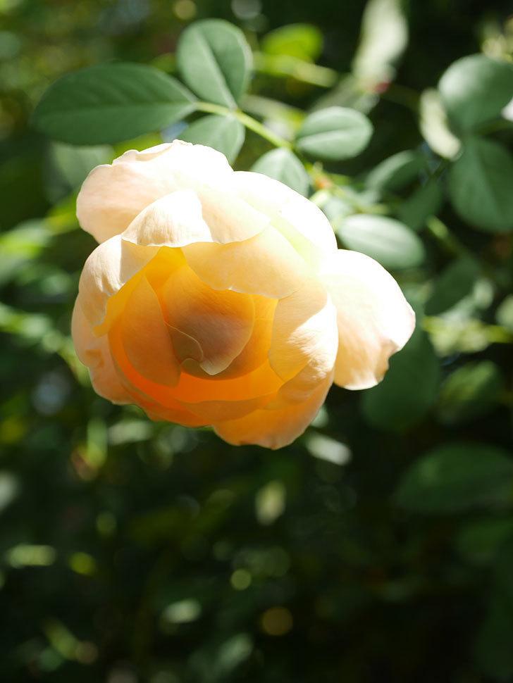 ジュード・ジ・オブスキュア(Jude the Obscure)の秋花が咲いた。半ツルバラ。2021年-003.jpg