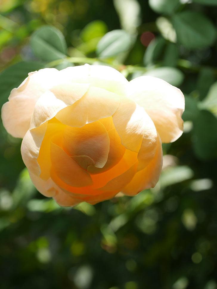ジュード・ジ・オブスキュア(Jude the Obscure)の秋花が咲いた。半ツルバラ。2021年-004.jpg