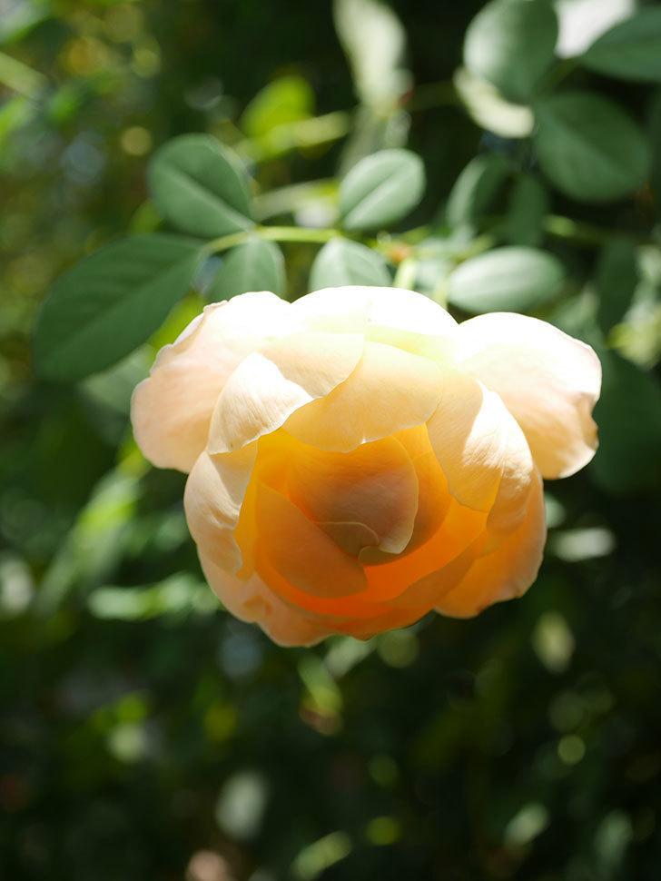 ジュード・ジ・オブスキュア(Jude the Obscure)の秋花が咲いた。半ツルバラ。2021年-005.jpg
