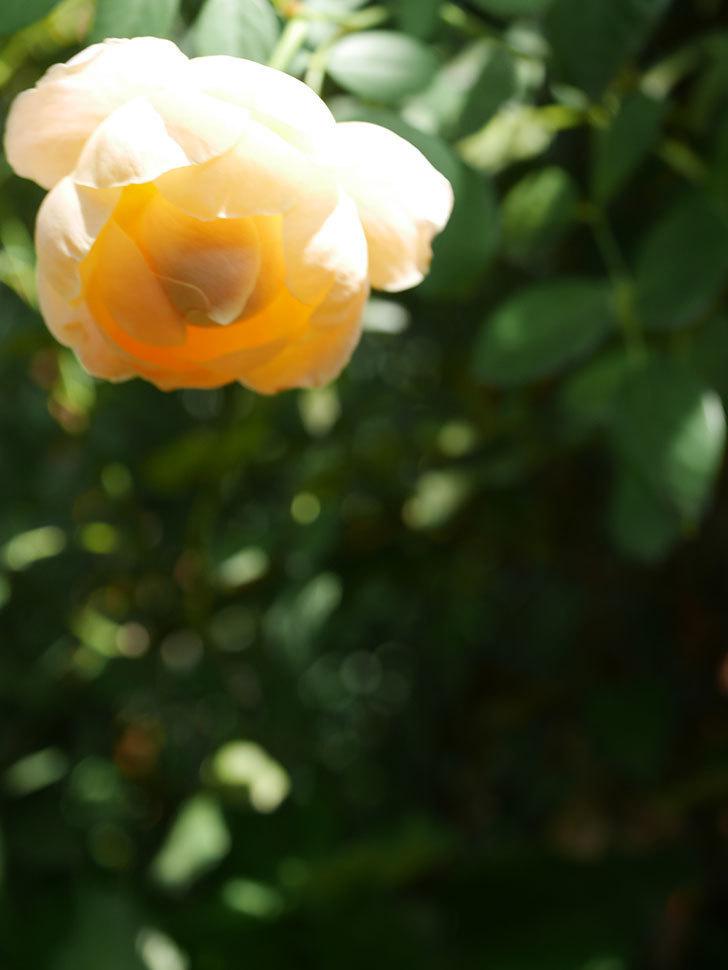 ジュード・ジ・オブスキュア(Jude the Obscure)の秋花が咲いた。半ツルバラ。2021年-006.jpg