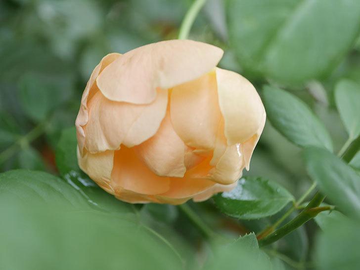 ジュード・ジ・オブスキュア(Jude the Obscure)の秋花が咲いた。半ツルバラ。2021年-008.jpg