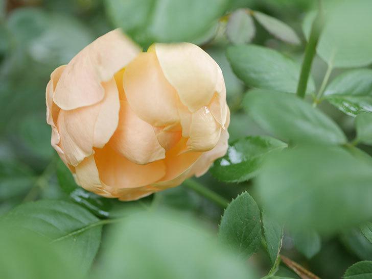 ジュード・ジ・オブスキュア(Jude the Obscure)の秋花が咲いた。半ツルバラ。2021年-009.jpg