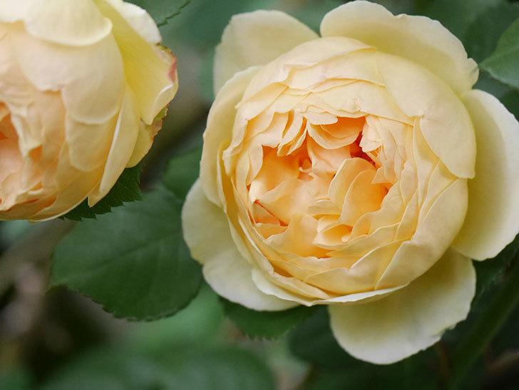 ジュード・ジ・オブスキュア(Jude the Obscure)の花がたくさん咲いた。半ツルバラ。2021年-001.jpg