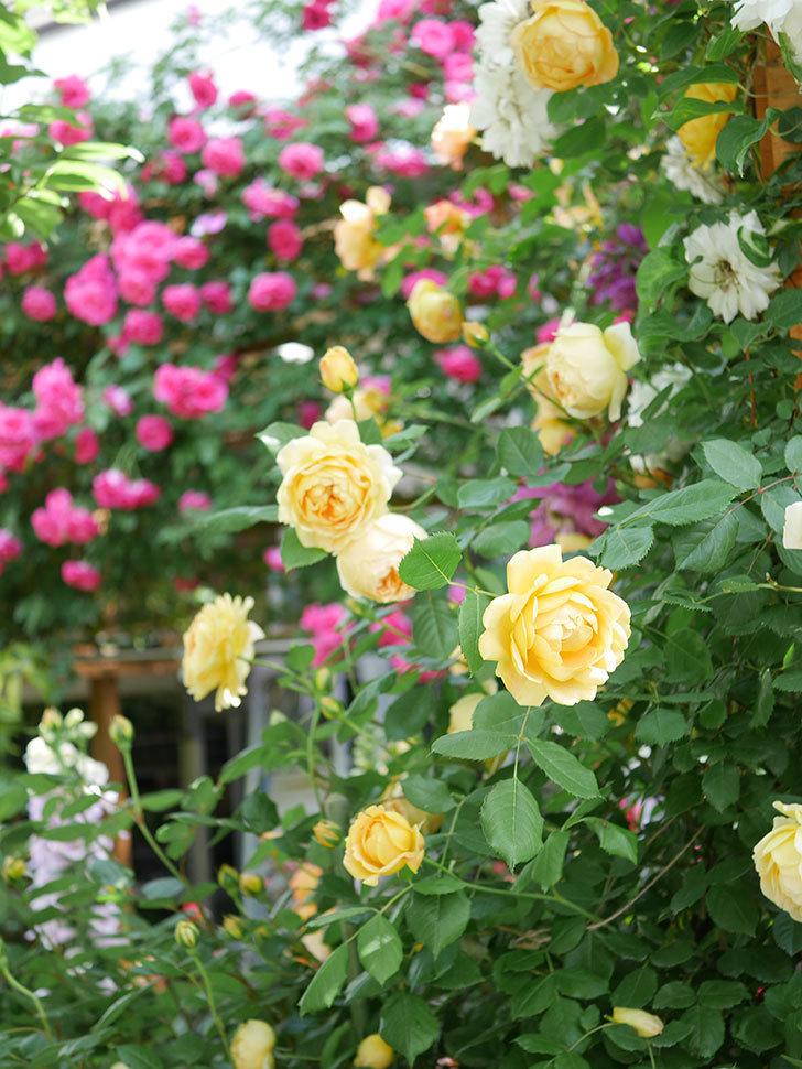ジュード・ジ・オブスキュア(Jude the Obscure)の花がたくさん咲いた。半ツルバラ。2021年-002.jpg