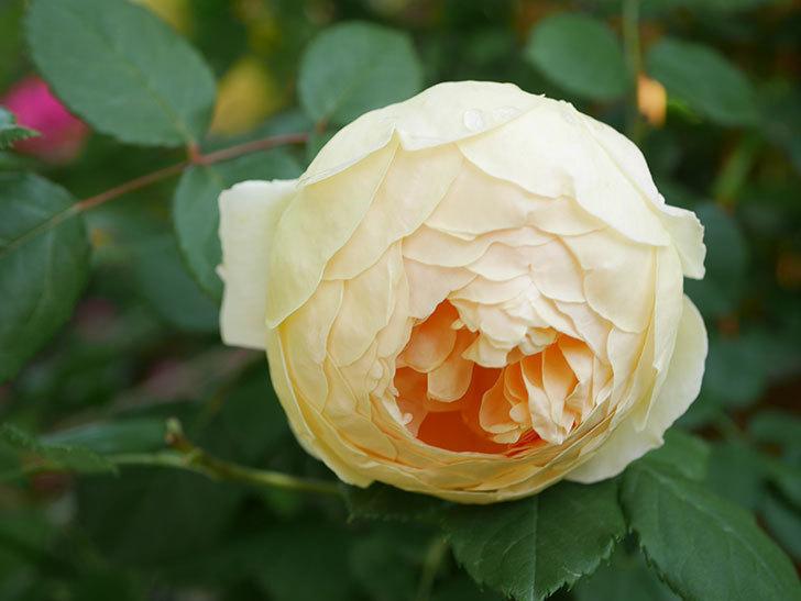 ジュード・ジ・オブスキュア(Jude the Obscure)の花がたくさん咲いた。半ツルバラ。2021年-003.jpg