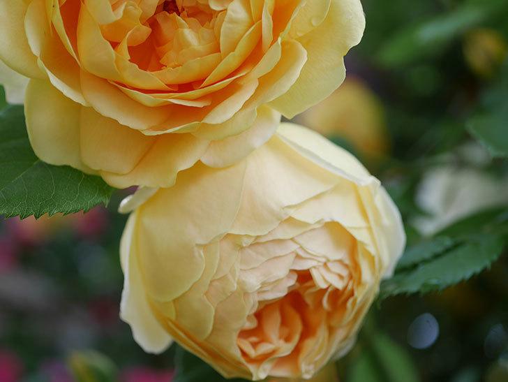ジュード・ジ・オブスキュア(Jude the Obscure)の花がたくさん咲いた。半ツルバラ。2021年-004.jpg