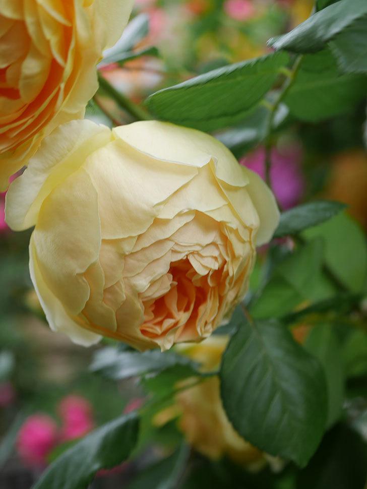ジュード・ジ・オブスキュア(Jude the Obscure)の花がたくさん咲いた。半ツルバラ。2021年-005.jpg