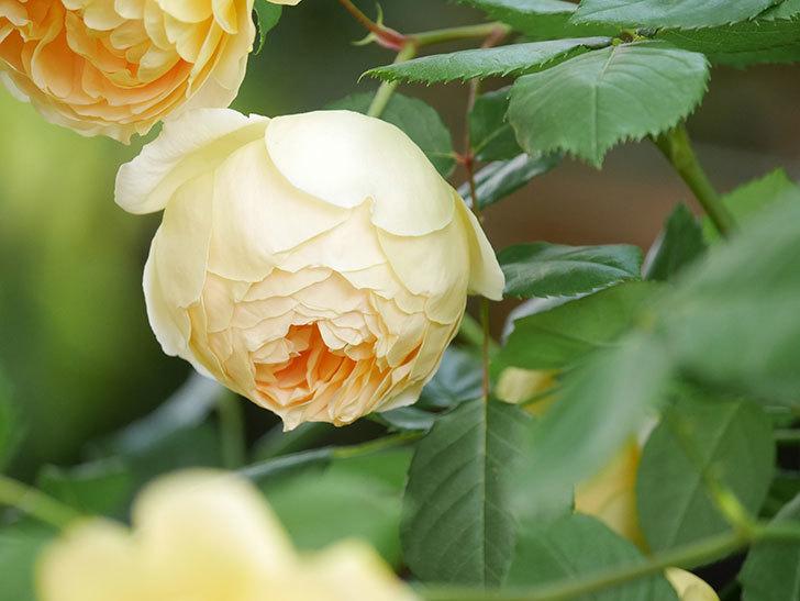 ジュード・ジ・オブスキュア(Jude the Obscure)の花がたくさん咲いた。半ツルバラ。2021年-008.jpg