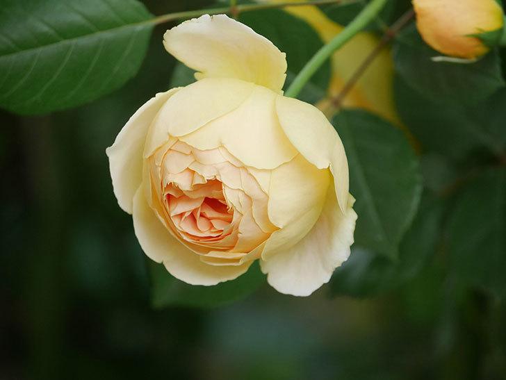ジュード・ジ・オブスキュア(Jude the Obscure)の花がたくさん咲いた。半ツルバラ。2021年-009.jpg