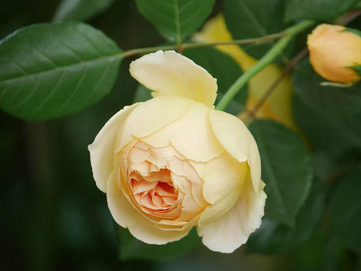 ジュード・ジ・オブスキュア(Jude the Obscure)の花がたくさん咲いた。半ツルバラ。2021年-010.jpg