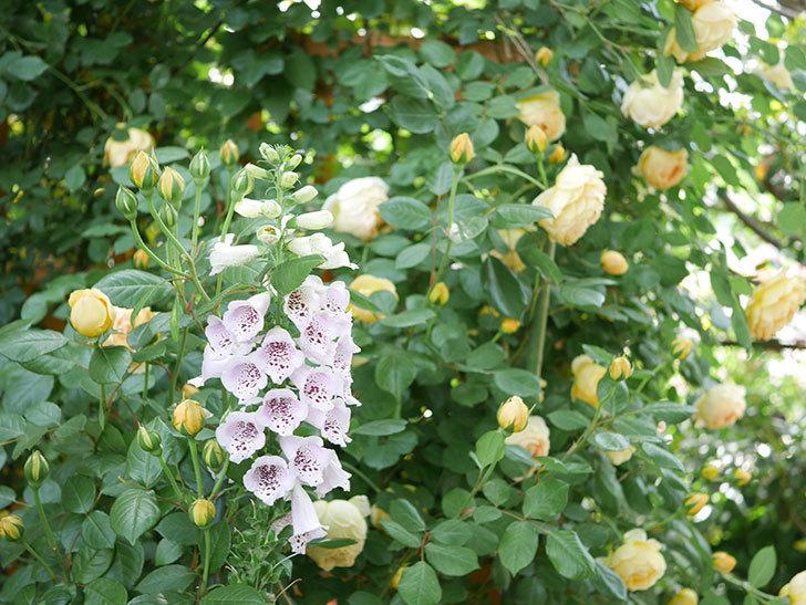 ジュード・ジ・オブスキュア(Jude the Obscure)の花がたくさん咲いた。半ツルバラ。2021年-011.jpg