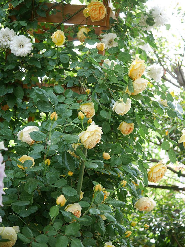 ジュード・ジ・オブスキュア(Jude the Obscure)の花がたくさん咲いた。半ツルバラ。2021年-012.jpg