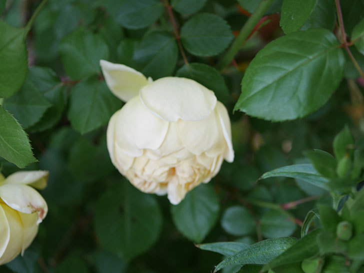 ジュード・ジ・オブスキュア(Jude the Obscure)の花がたくさん咲いた。半ツルバラ。2021年-013.jpg