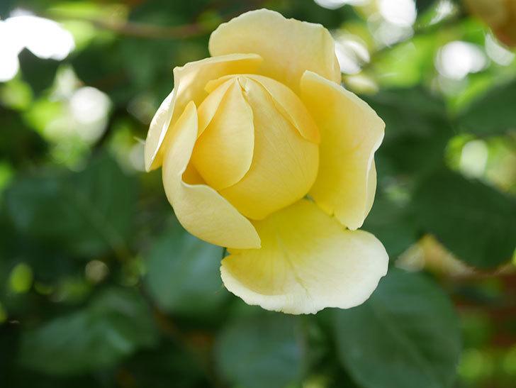 ジュード・ジ・オブスキュア(Jude the Obscure)の花がたくさん咲いた。半ツルバラ。2021年-016.jpg