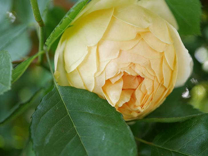 ジュード・ジ・オブスキュア(Jude the Obscure)の花がたくさん咲いた。半ツルバラ。2021年-017.jpg