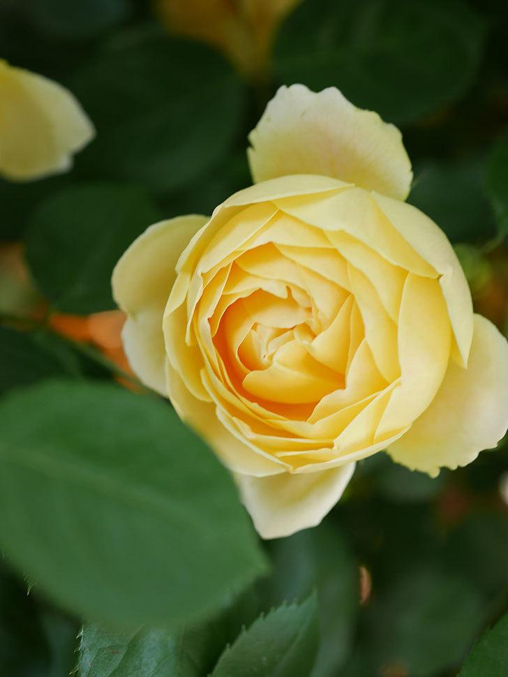 ジュード・ジ・オブスキュア(Jude the Obscure)の花がたくさん咲いた。半ツルバラ。2021年-018.jpg