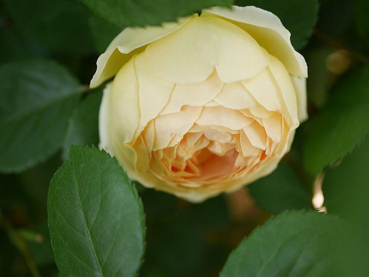 ジュード・ジ・オブスキュア(Jude the Obscure)の花がたくさん咲いた。半ツルバラ。2021年-019.jpg