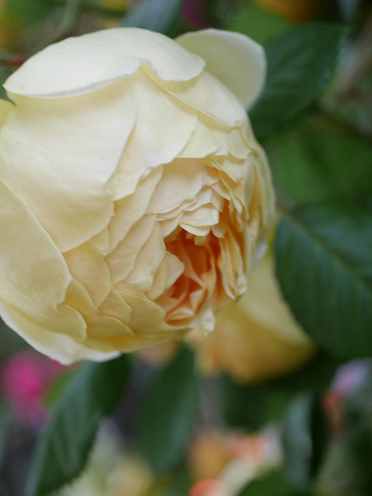ジュード・ジ・オブスキュア(Jude the Obscure)の花がたくさん咲いた。半ツルバラ。2021年-020.jpg