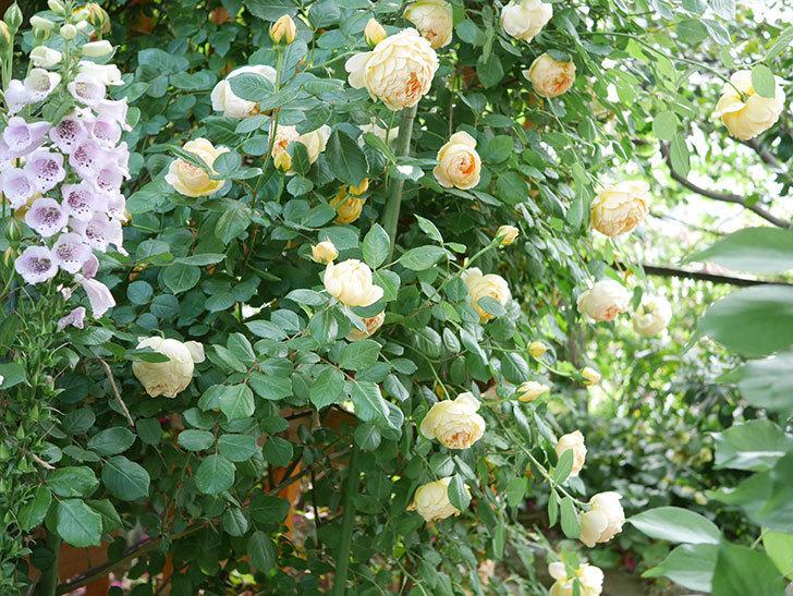 ジュード・ジ・オブスキュア(Jude the Obscure)の花がたくさん咲いた。半ツルバラ。2021年-021.jpg