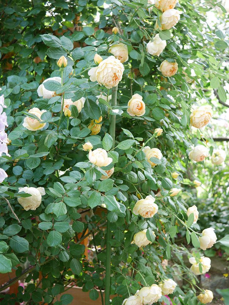 ジュード・ジ・オブスキュア(Jude the Obscure)の花がたくさん咲いた。半ツルバラ。2021年-022.jpg